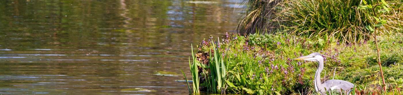 blue heron near water